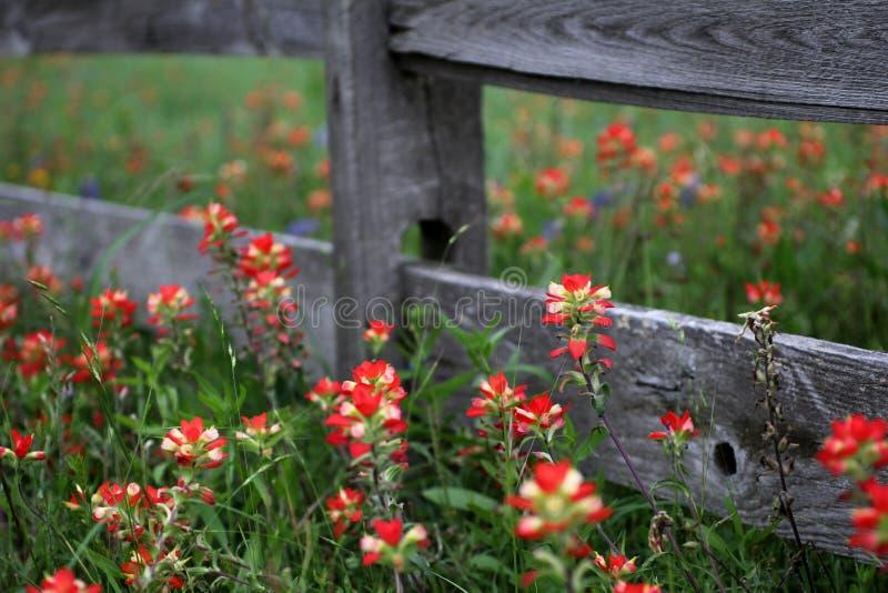 Wildflowers van Texas en houten omheining in de Lente stock afbeeldingen