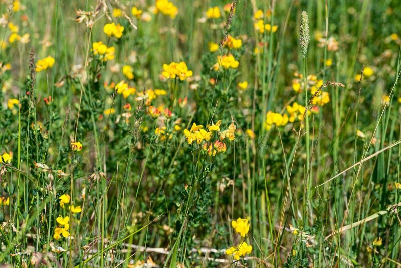 Wildflowers variopinti del ginestrino fotografie stock