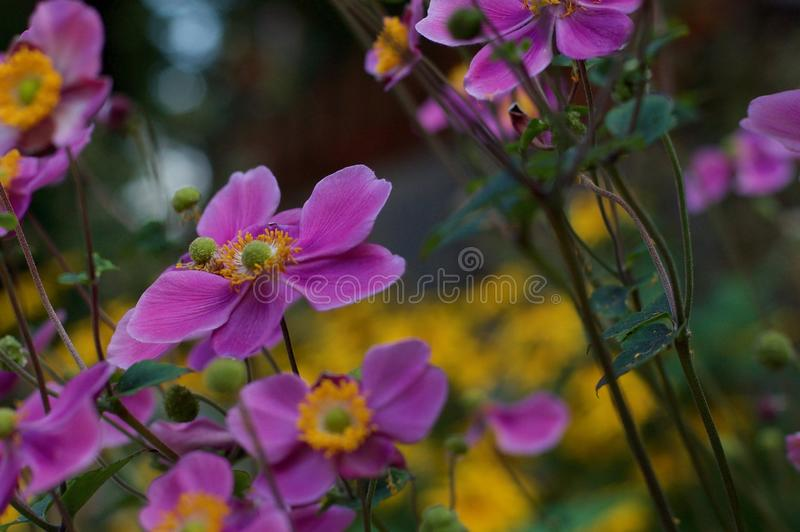 Wildflowers variopinti, rosa-intenso e giallo fotografie stock