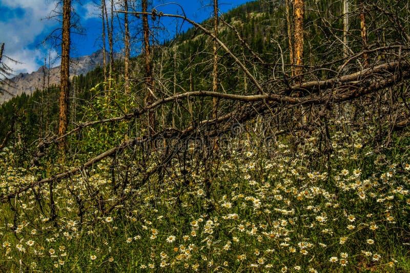 Wildflowers in volledige bloei, het Nationale Park van Banff, Alberta, Canada royalty-vrije stock afbeeldingen