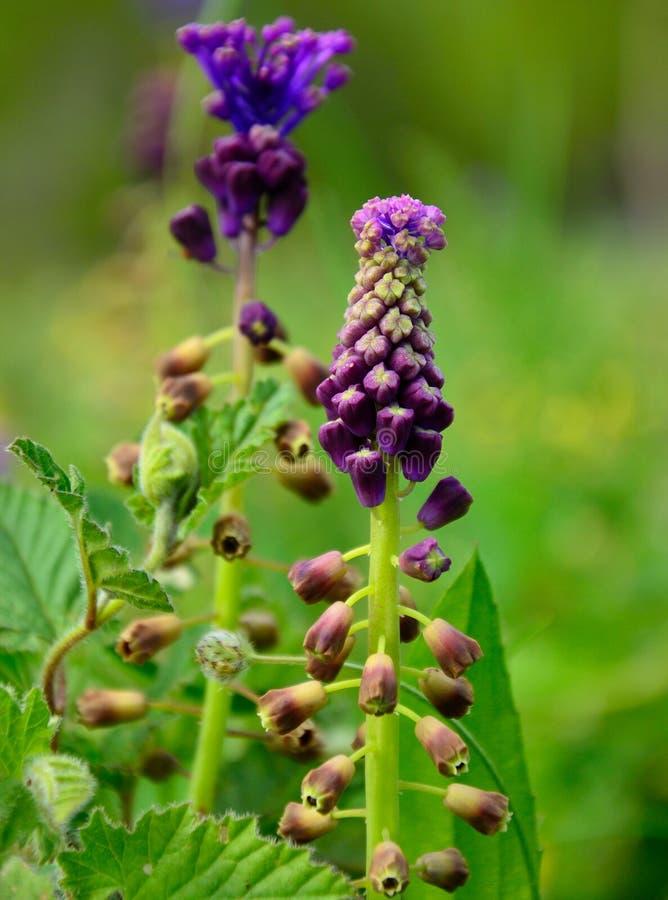 Wildflowers von Leopoldia-comosa lizenzfreie stockfotografie