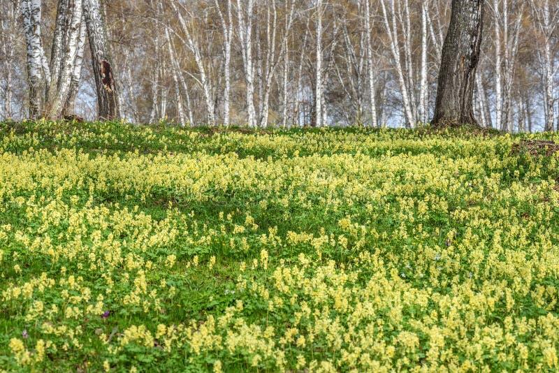 Wildflowers wiosny brzozy żółty Corydalis zdjęcie royalty free