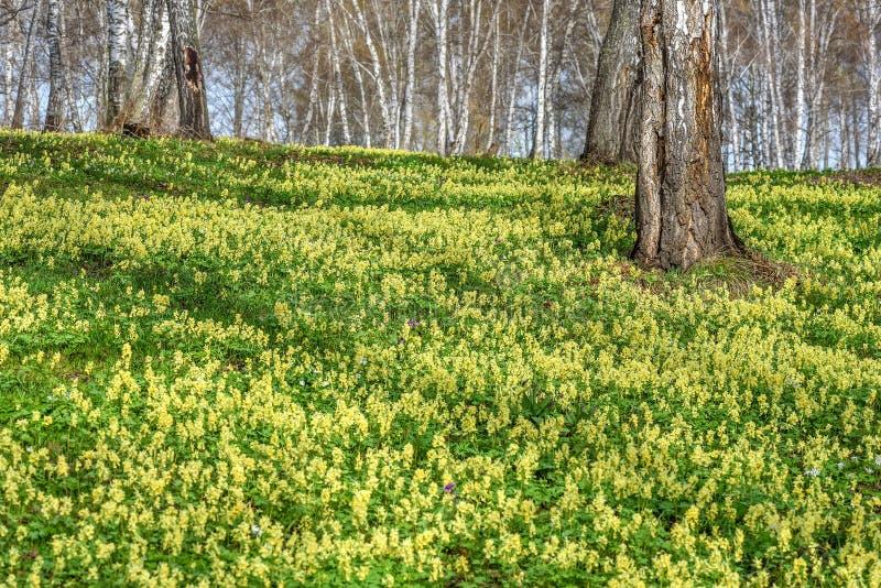 Wildflowers wiosny brzozy żółty Corydalis obraz royalty free