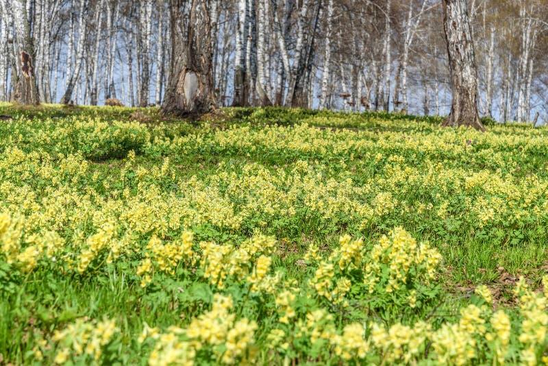 Wildflowers wiosny brzozy żółty Corydalis zdjęcia stock