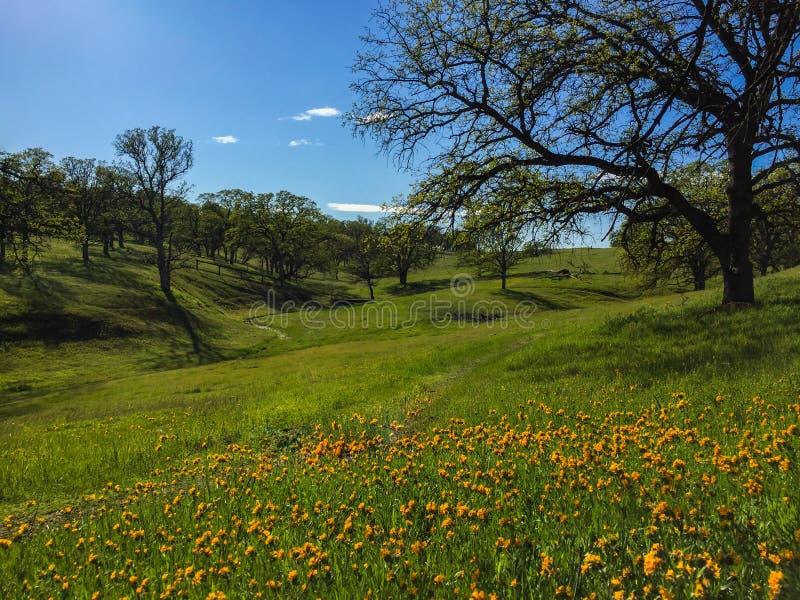 Wildflowers y robles a lo largo de la trayectoria enorme de la naturaleza imágenes de archivo libres de regalías