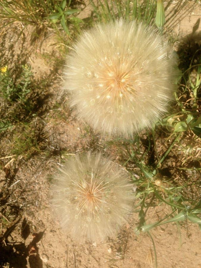Wildflowersamenkopf lizenzfreie stockbilder