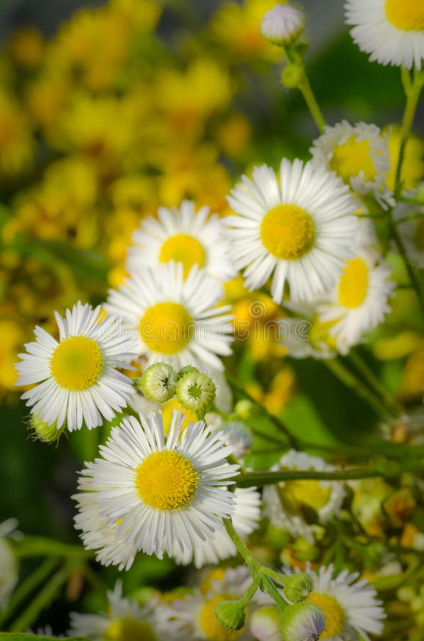 Wildfowers royalty free stock images