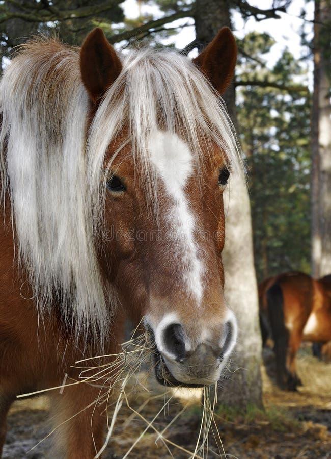 Wildhorse in Lojsta Hed, Zweden royalty-vrije stock foto