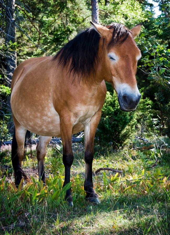 Wildhorse in Lojsta Hed, Zweden royalty-vrije stock fotografie