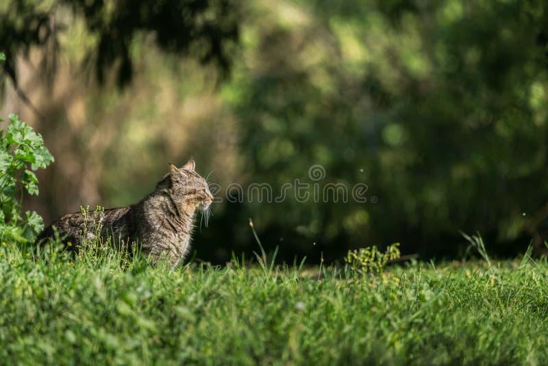 Wildkatze auf dem Gras innerhalb eines Waldes stockbild
