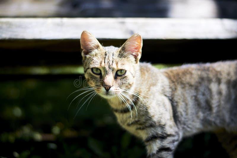 Wildkatze, die direkt Ihnen betrachtet lizenzfreie stockbilder