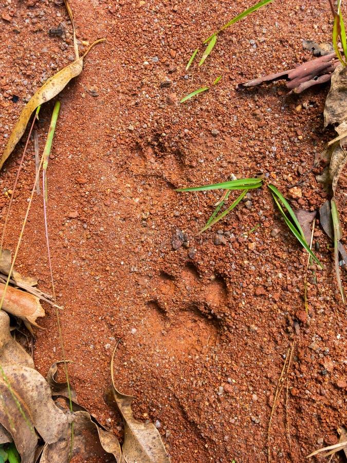 Wildkatzeschritte auf Boden Schlamm - semiotische Indizes lizenzfreie stockbilder