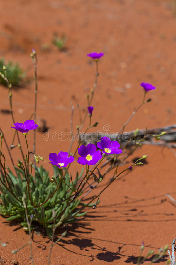 Wildlflowers som blommar i öken arkivbilder