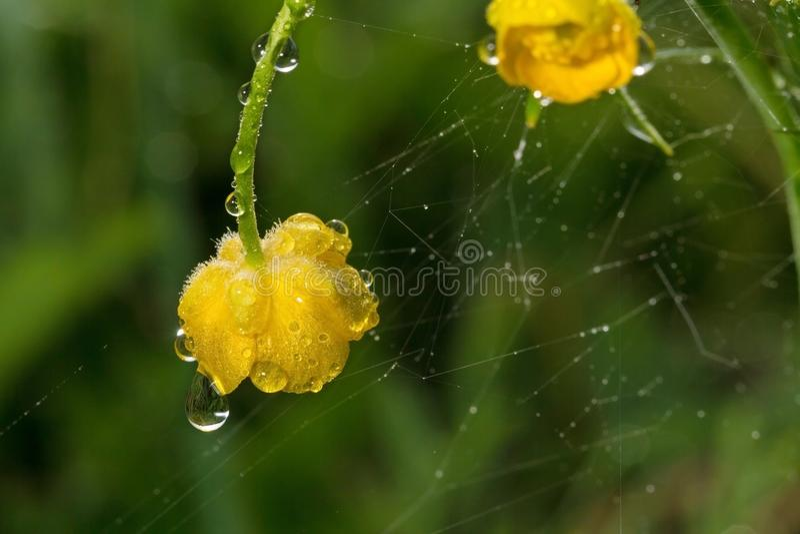 wildlife μακρόκοσμος Πτώσεις δροσιάς στα όμορφα λουλούδια Δάκρυα, υπόβαθρα στοκ εικόνα με δικαίωμα ελεύθερης χρήσης