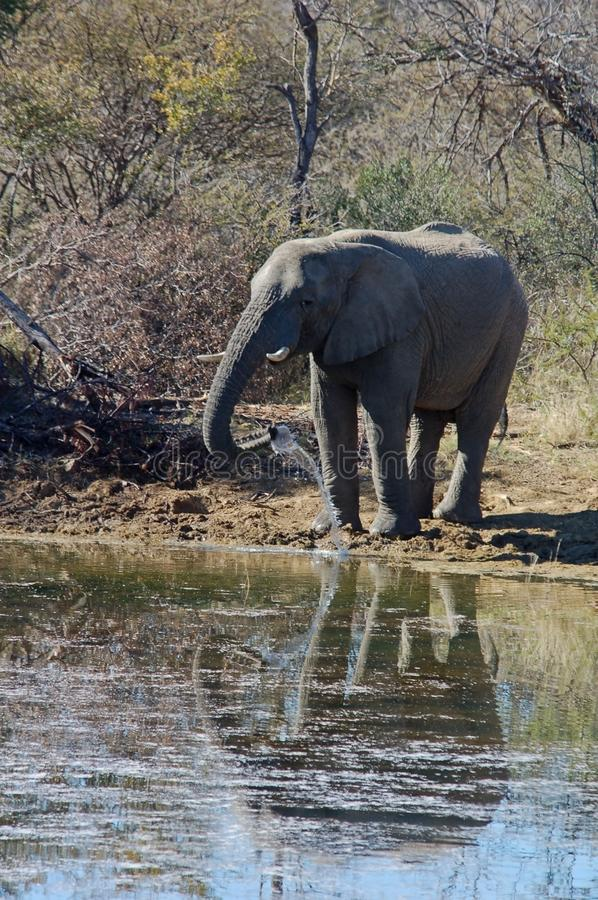 Download Wildlife stock image. Image of goliath, fauna, pachyderm - 5621491