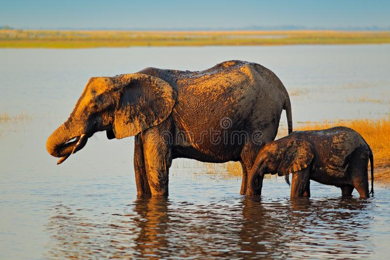 Wildlife Africa. Elephant playing in muddy water. African elephants drinking at a waterhole lifting their trunks, Chobe National p stock image