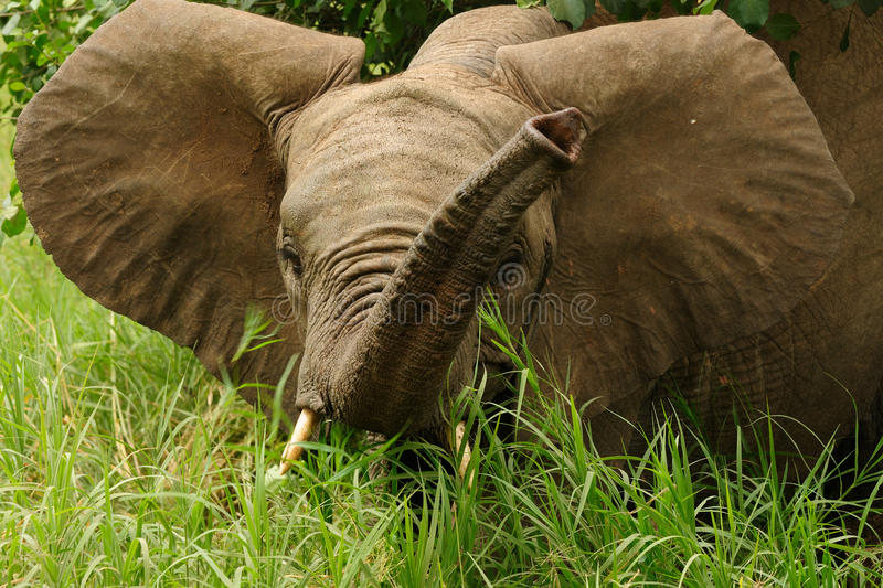 Download Wildlife in Africa stock photo. Image of park, grass - 31569960