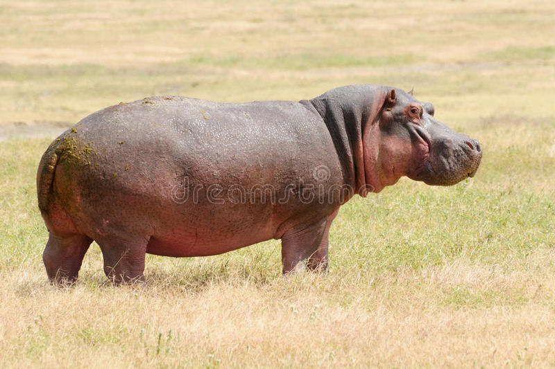Download Wildlife in Africa stock photo. Image of national, mammal - 31243584