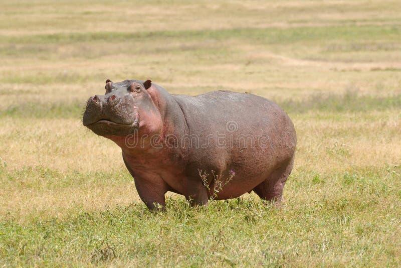 Wildlife In Africa, Hippo Stock Photos