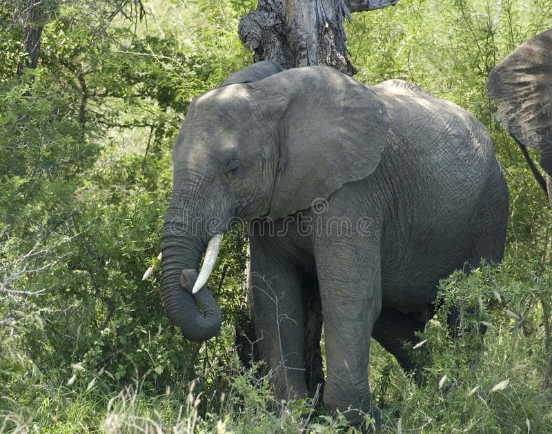 Wildlife: African Elephant. An African Elephant (Loxodonta africana) in the Kruger Park, South Africa royalty free stock image