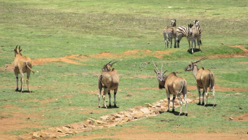 Eland and Zebra. Wildlife Alzu Lowveld SouthAfrica stock photos