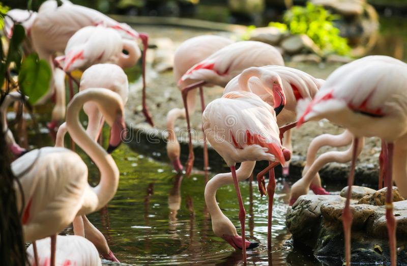 Wildlife Animal, Flamingos are type of wading birds, capable flyers. Flamingos usually stand on one leg while other tucked beneath. Bodies. Flamingos in royalty free stock image