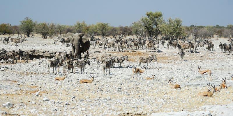 Wildlife animals in the Etosha National Park, Namibia royalty free stock image