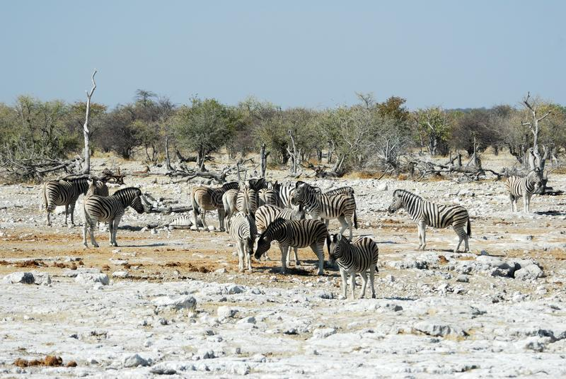 Wildlife animals in the Etosha National Park, Namibia royalty free stock photo