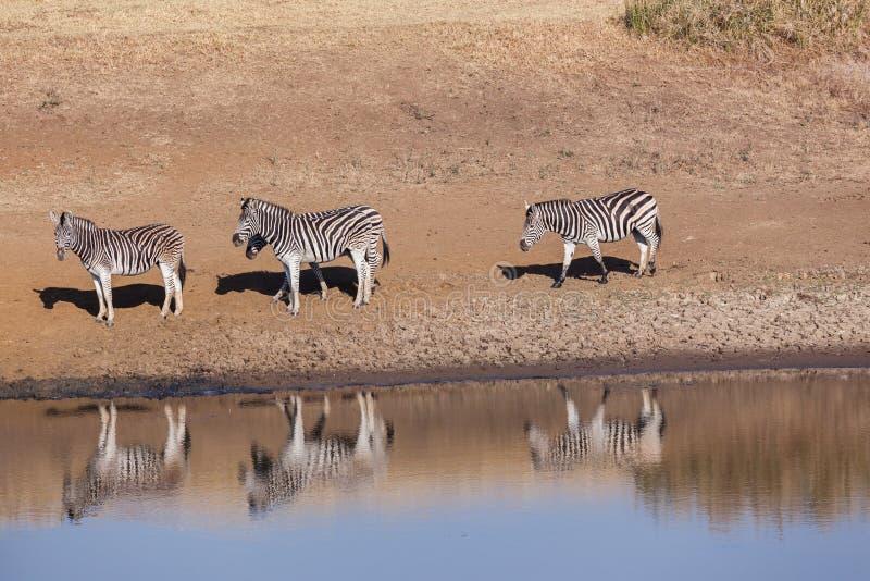 Wildlife Animals four Zebra's Waterhole. Wildlife animals four zebra's at waterhole in reserve habitat royalty free stock image