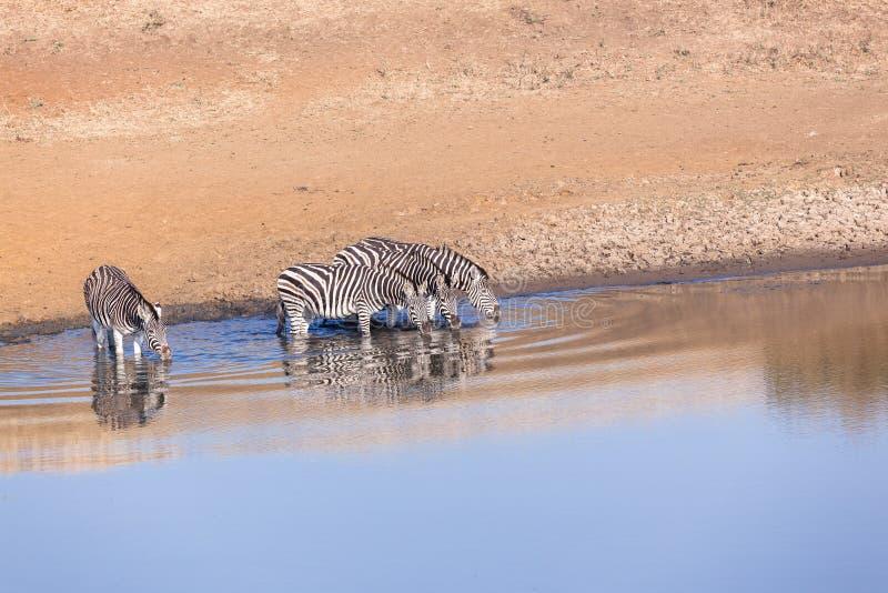 Wildlife Animals Four Zebra's Waterhole. Wildlife animals four zebra's at waterhole in reserve habitat royalty free stock photo