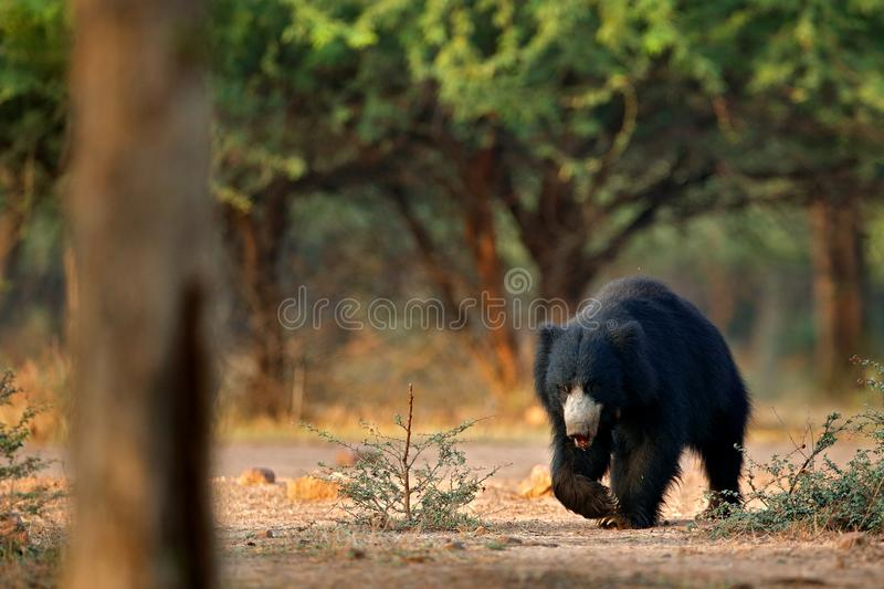 Wildlife Asia. Cute animal on the road Asia forest. Sloth bear, Melursus ursinus, Ranthambore National Park, India. Wild Sloth bea stock photo