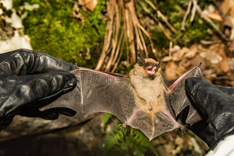 Wildlife Biologist holding a Big Brown Bat. A wildlife biologist checking the wings of a Big Brown Bat for signs of White-nose Syndrome royalty free stock photography
