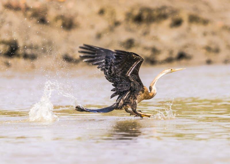Snakebird royalty free stock photography