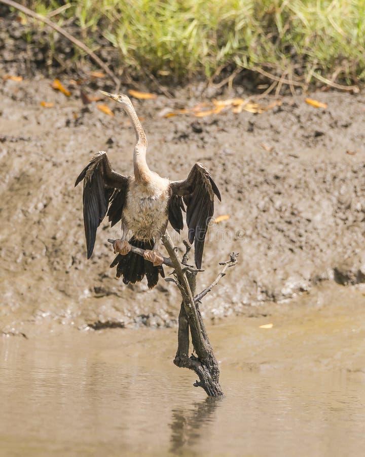 Snakebird stock photos