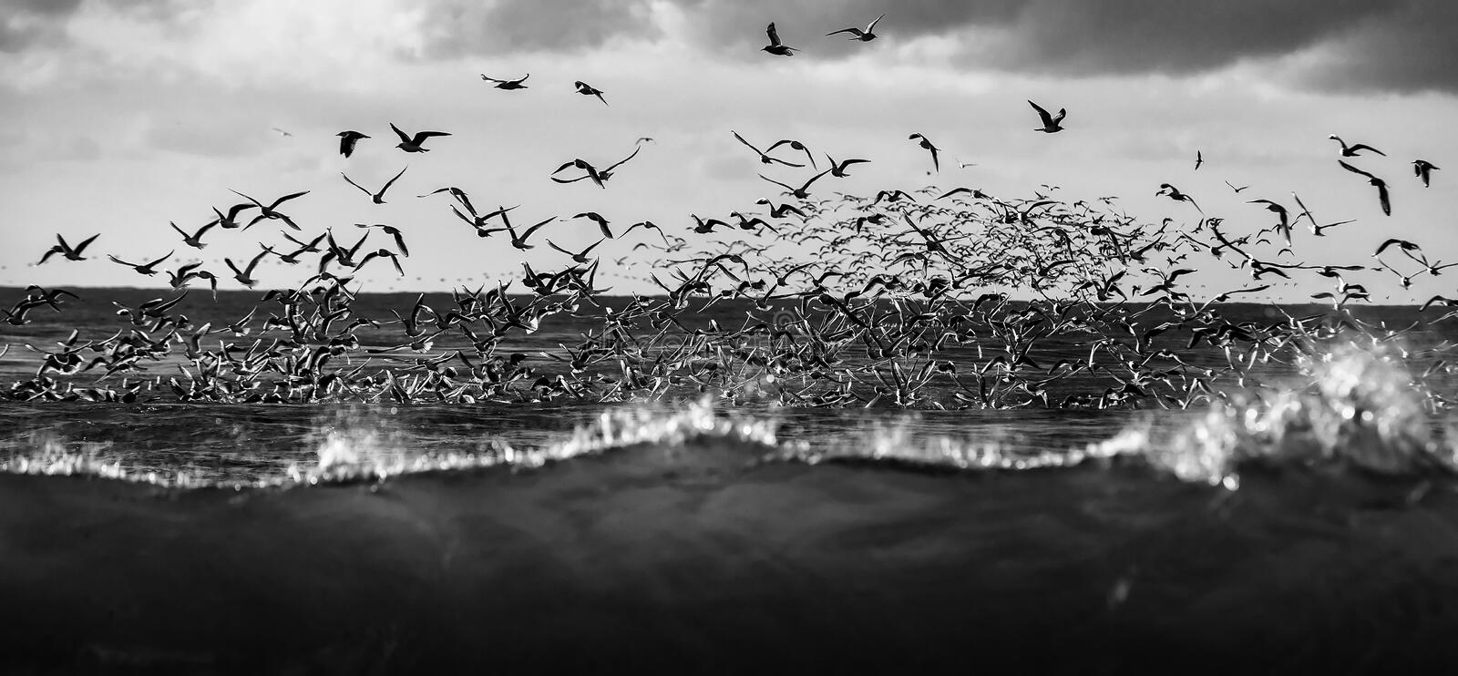 Wildlife of birds. Lots of seagulls hovering over the stormy sea at sunset stock photo