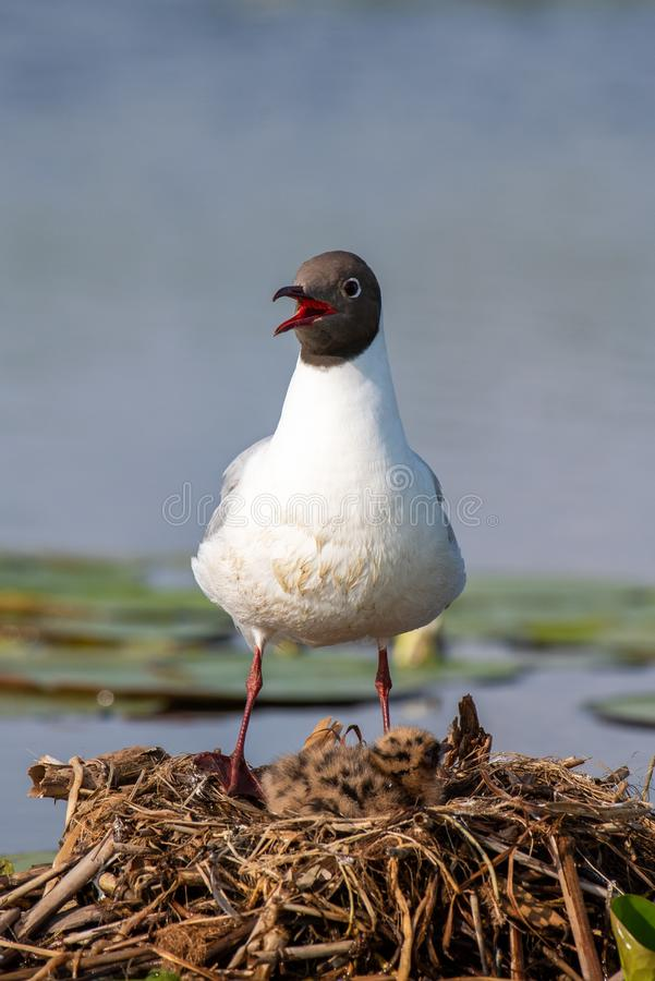 Wildlife birds watching in Danube Delta , Romania. Wild nature royalty free stock image