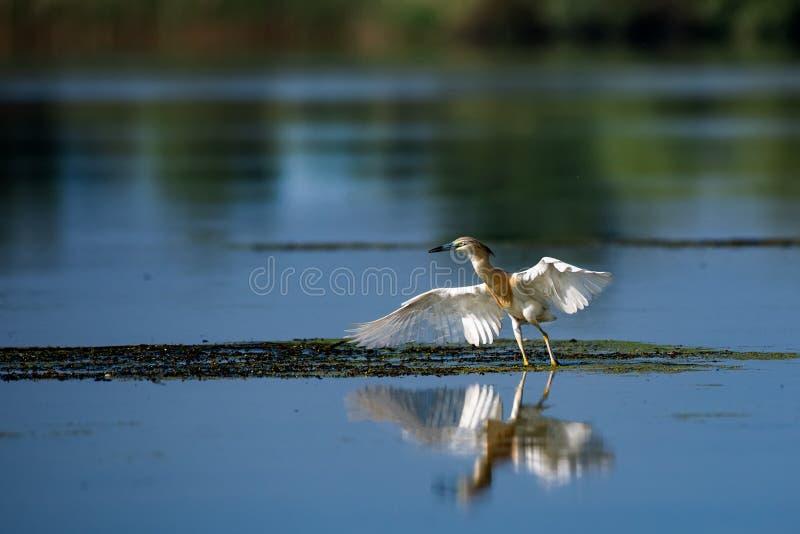 Wildlife birds watching in Danube Delta , Romania. Wild nature royalty free stock photo