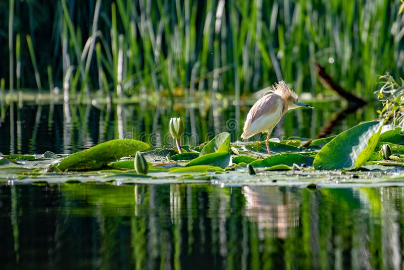 Wildlife birds watching in Danube Delta , Romania royalty free stock photography