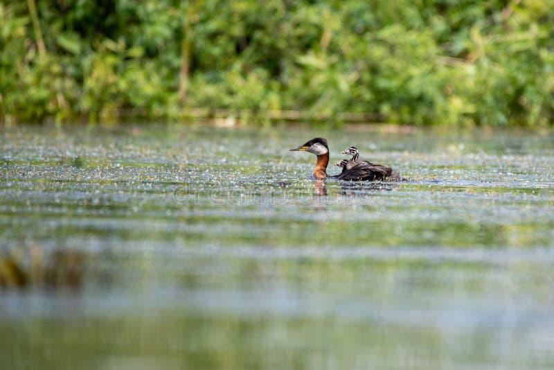 Wildlife birds watching in Danube Delta , Romania. Wild nature stock image