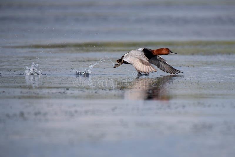 Wildlife birds watching in Danube Delta , Romania. Wild nature stock photography