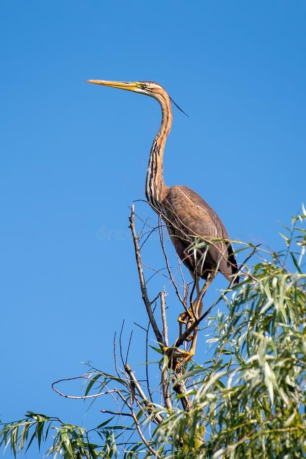 Wildlife birds watching in Danube Delta , Romania. Wild nature royalty free stock photos