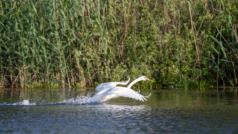 Wildlife birds watching in Danube Delta , Romania. Wild nature royalty free stock images