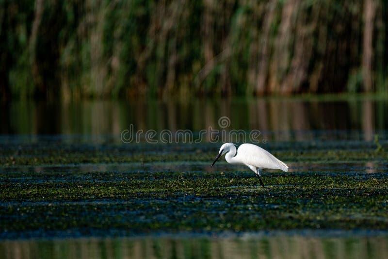 Wildlife birds watching in Danube Delta , Romania. Wild nature stock photo