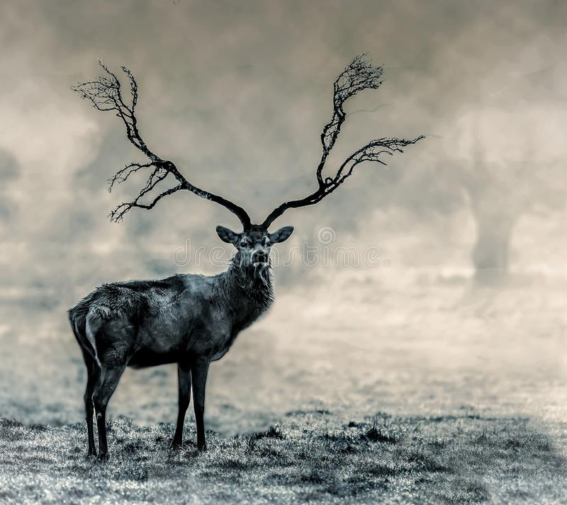 Wildlife, Black And White, Deer, Fauna stock image