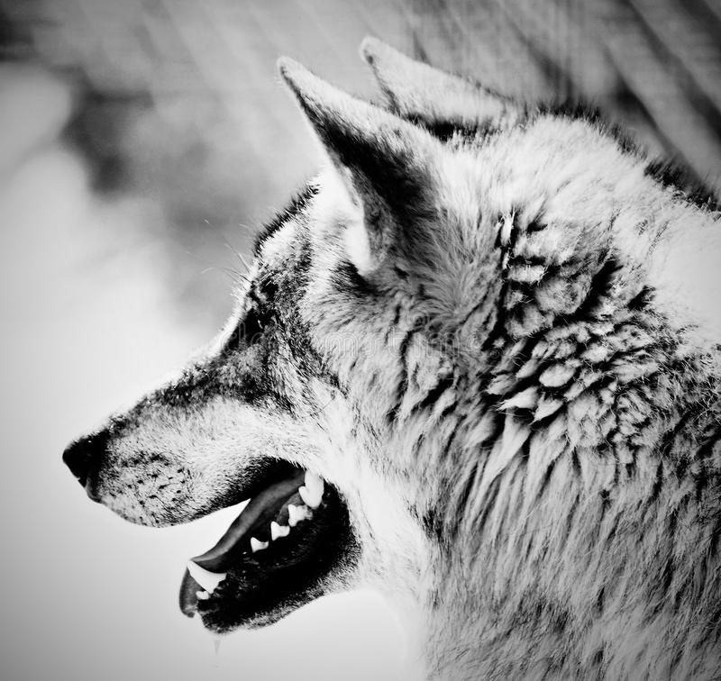 Black and white picture of wolf, american teen fucking
