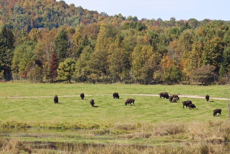 Download Wildlife of canada stock image. Image of herd, animals - 25933099