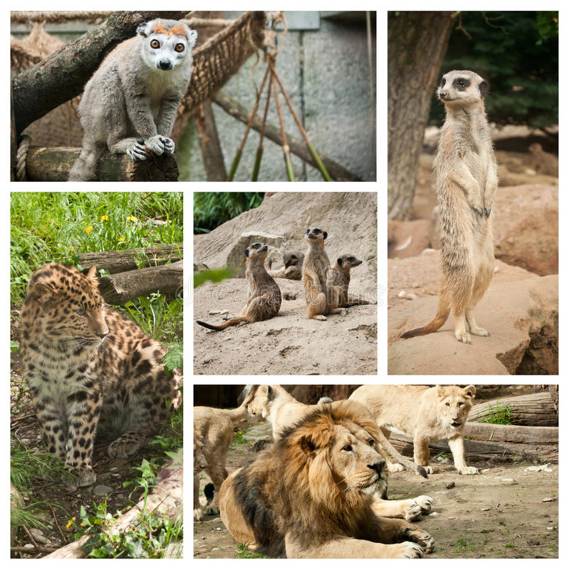 Download Wildlife Collage Stock Photo Image Of Grey Panther