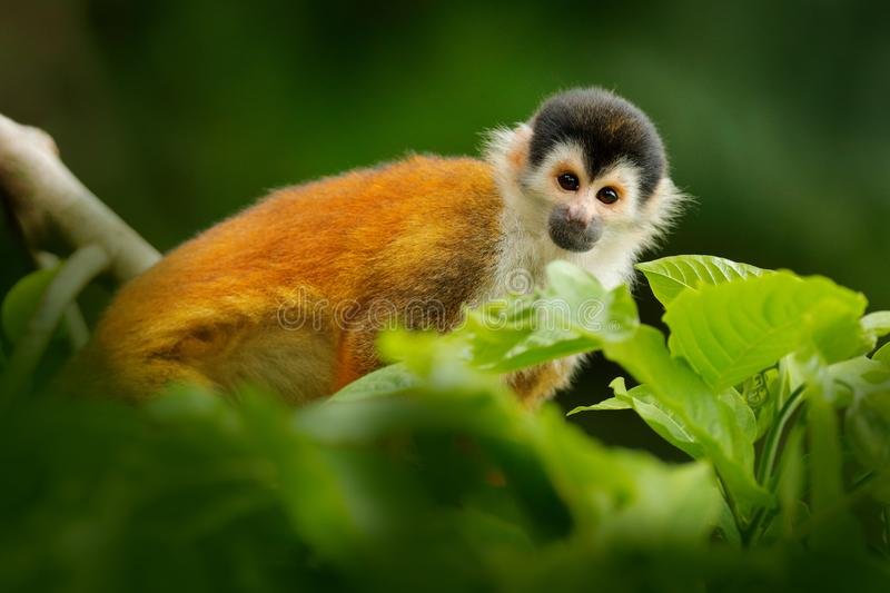 Wildlife Costa Rica. Squirrel monkey, sitting on the tree trunk with green leaves, Corcovado NP, Costa Rica. Wildlife nature stock image