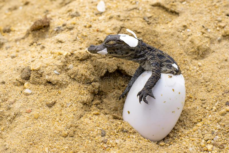 WILDLIFE: CROC BORN TO BE FEARED. A baby Nile Crocodile & x28;Crocodylus niloticus& x29; emerges from its egg in Tzaneen, South Africa stock photos