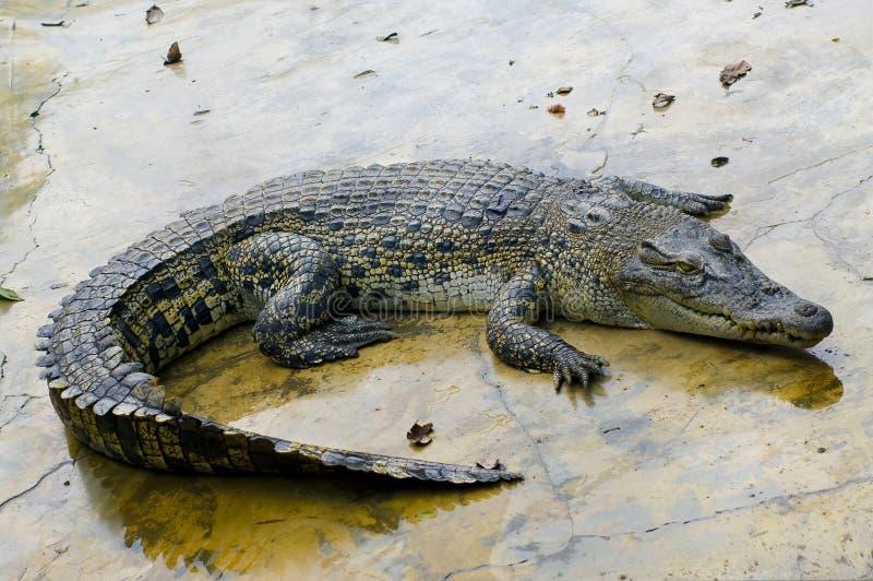 Download Wildlife crocodile stock image. Image of sumatra, tooth - 21073483